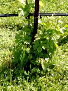 Vineyard needing clean up for grafting