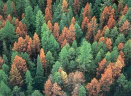 Bark beetle beginnings in a forest
